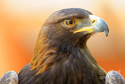 Photograph - Golden Eagle - Messenger Of The Gods by Sue Harper