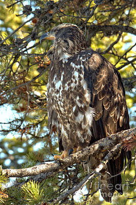 Photograph - Golden Eagle On The Lookout by Adam Jewell
