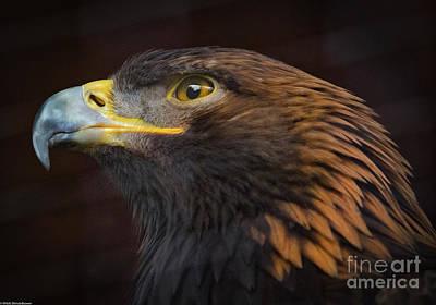 Photograph - Golden Eagle Portrait by Mitch Shindelbower