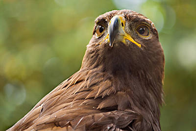Golden Eagle Portrait Art Print by Peter J Sucy