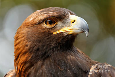 Photograph - Golden Eagle - Posing For The Camera by Sue Harper