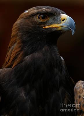 Photograph - Golden Eagle - Predator by Sue Harper