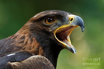 Photograph - Golden Eagle - Raptor Calling by Sue Harper