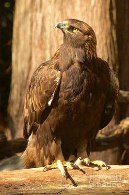 Photograph - Golden Eagle by Sean Griffin