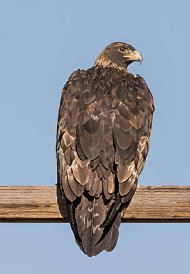 Photograph - Golden Eagle Sideways Glance by Loree Johnson