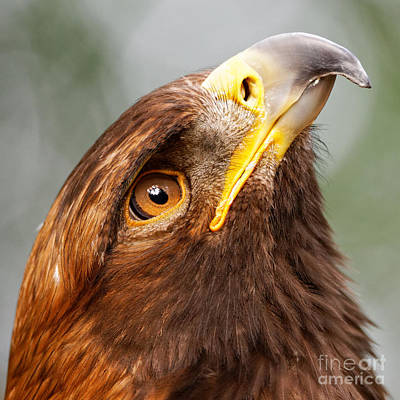 Photograph - Golden Eagle - Sky Gazer by Sue Harper