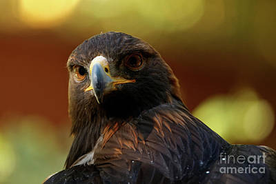 Photograph - Golden Eagle - Stare Back by Sue Harper