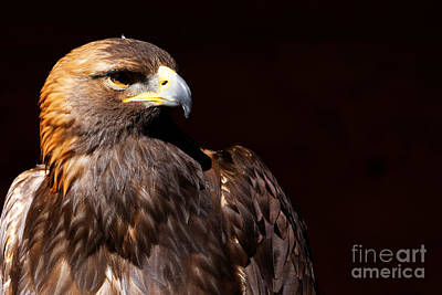Photograph - Golden Eagle - Stunning Portrait by Sue Harper