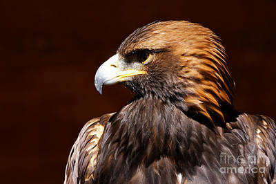 Photograph - Golden Eagle - The Hunter by Sue Harper