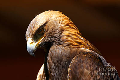 Photograph - Golden Eagle - The Thinker by Sue Harper