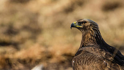 Photograph - Golden Eagle by Torbjorn Swenelius