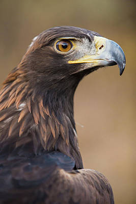 Photograph - Golden Eagle by Wesley Aston