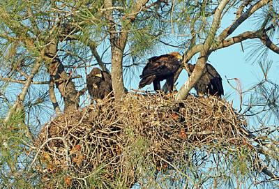 Photograph - Golden Eagle With Two Nestlings by Dale Matson