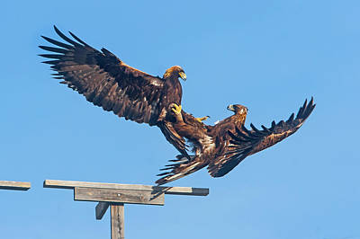 Photograph - Golden Eagle Courtship by Mark Miller