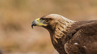 Pinion Photograph - Golden Eagle's Portrait by Torbjorn Swenelius