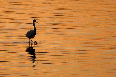 Royalty-Free and Rights-Managed Images - Golden Egret by Paul Neville