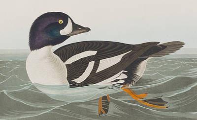 Goldeneye Painting - Golden-eye Duck by John James Audubon