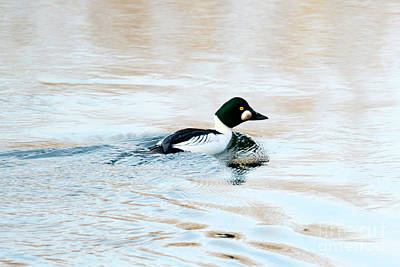 Goldeneye Photograph - Golden Eye Reflection by Mike Dawson