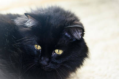 Fluffy Photograph - Golden Eyes by Camille Lopez