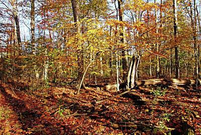 Photograph - Golden Fall Forest by Debbie Oppermann