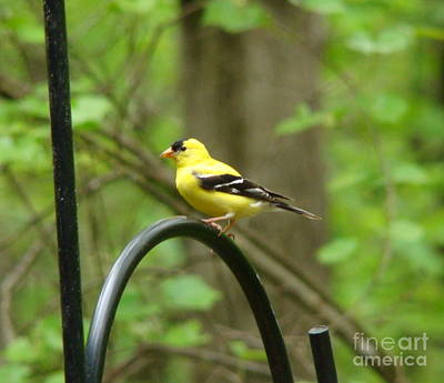 Art Print featuring the photograph Golden Finch by Rand Herron
