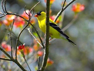 Photograph - Golden Finch Resting On The Dogwood by Jenny Regan