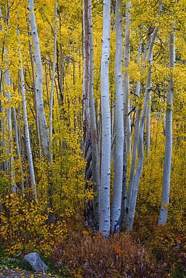 Birch Bark Photograph - Golden Forest Portrait by James BO  Insogna