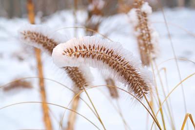 Snow Seeds Photograph - Golden Foxtail by Douglas Barnett