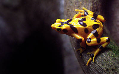 Photograph - Golden Frog by Joseph Skompski