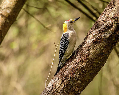 Photograph - Golden-fronted Male Woodpecker At Bentsen-rio Grande State Park  by Debra Martz