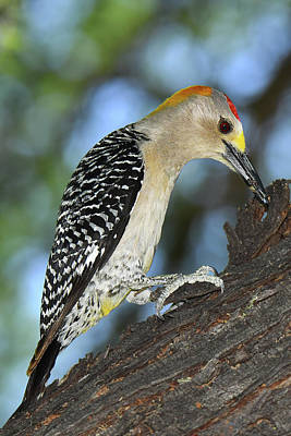 Photograph - Golden-fronted Woodpecker by Alan Lenk