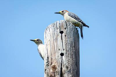 Photograph - Golden-fronted Woodpecker Pair  by Debra Martz