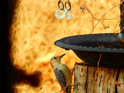 Photograph - golden-fronted Woodpecker by Virginia Kay White