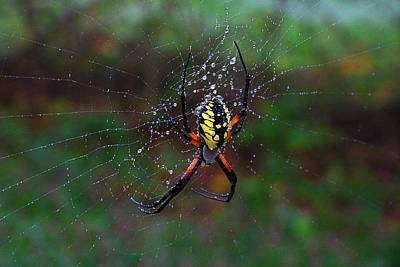 Photograph - Golden Garden Spider by Kathryn Meyer