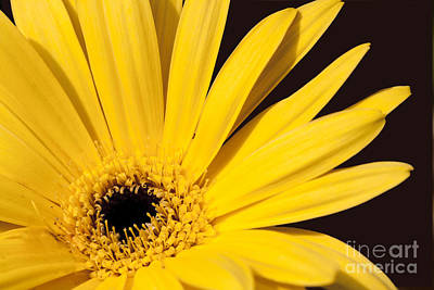 Photograph - Golden Gerber Daisy by Sandra Clark