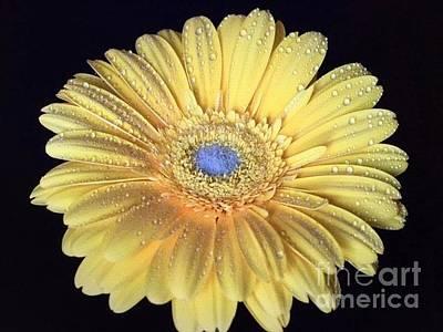 Photograph - Golden Gerbera Daisy by Jeannie Rhode