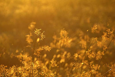 Photograph - Golden Glow by Judy Salcedo