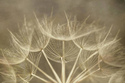 Photograph - Golden Goatsbeard by Lori Deiter