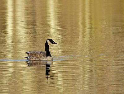 Photograph - Golden Goose by Lori Pessin Lafargue