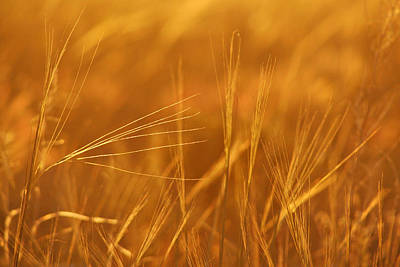 Photograph - Golden Grain Wheat by Mary Jo Allen