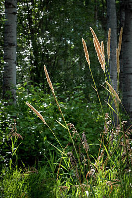 Photograph - Golden Grass At The Forest Edge by Mary Lee Dereske