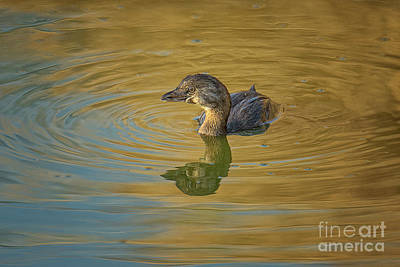 Photograph - Golden Grebe by Craig Leaper