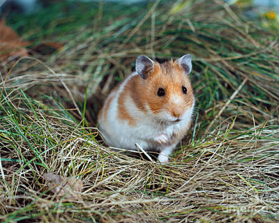 Syrian Hamster Photograph - Golden Hamster by Werner Layer