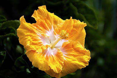 Photograph - Golden Hibiscus - Hawaii by Brian Harig