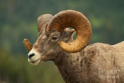 Photograph - Golden Horns by Adam Jewell