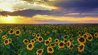 Photograph - Golden Hour Across The Sunflower Fields by John De Bord