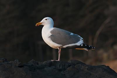 Photograph - Golden Hour Gull by Robert Potts