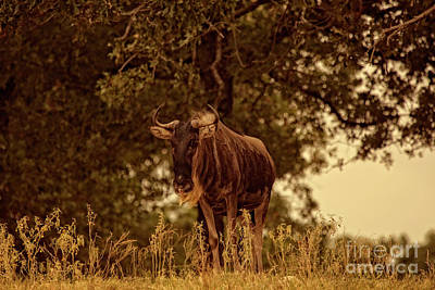 Photograph - Golden Hour Wildebeest by Douglas Barnard