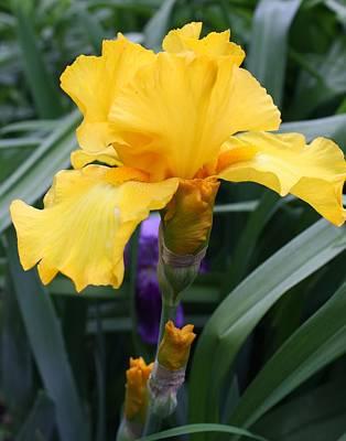 Art Print featuring the photograph Golden Iris by Bruce Bley