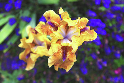 Photograph - Golden Iris With Blue by Nareeta Martin